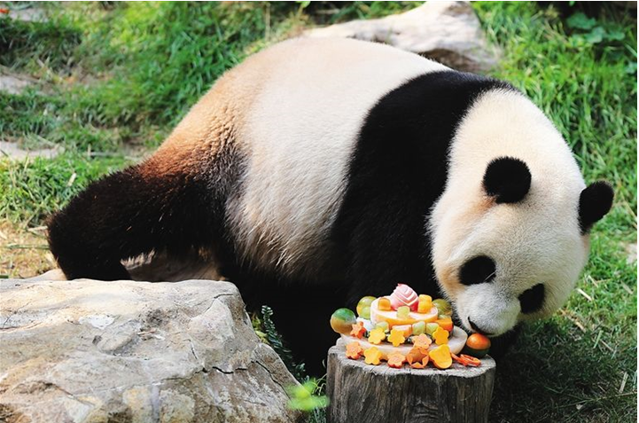 how to volunteer with pandas in china