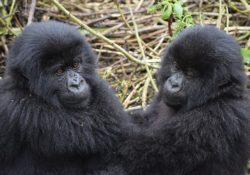 mountain gorilla trekking is one of the best african adventures