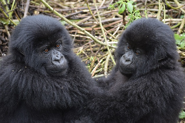 mountain gorilla trekking is one of the best african adventures