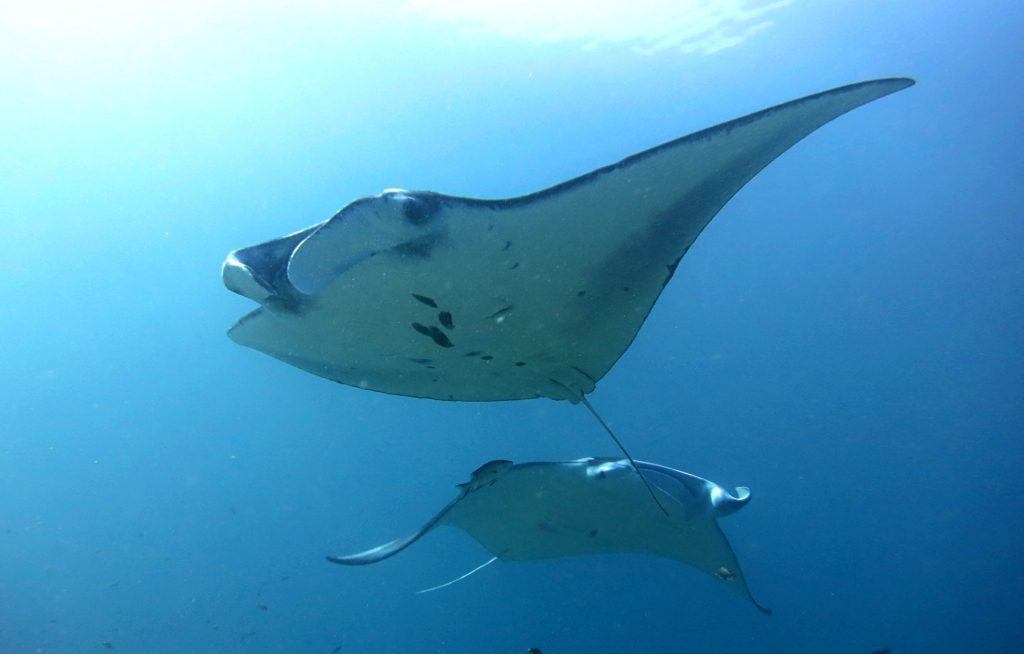 best things to do in Nusa Lembongan Diving mantas