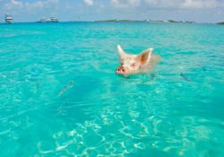 the pigs is a reason to visit the Bahamas