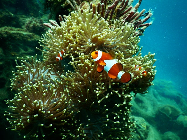 aquatic clown fish