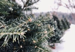 photo of Christmas trees from one of the Christmas tree farms near Chicago
