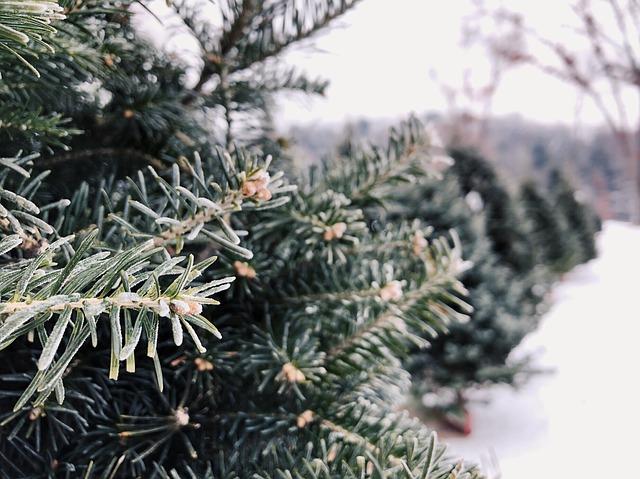 Best Christmas Tree Farms Near Chicago